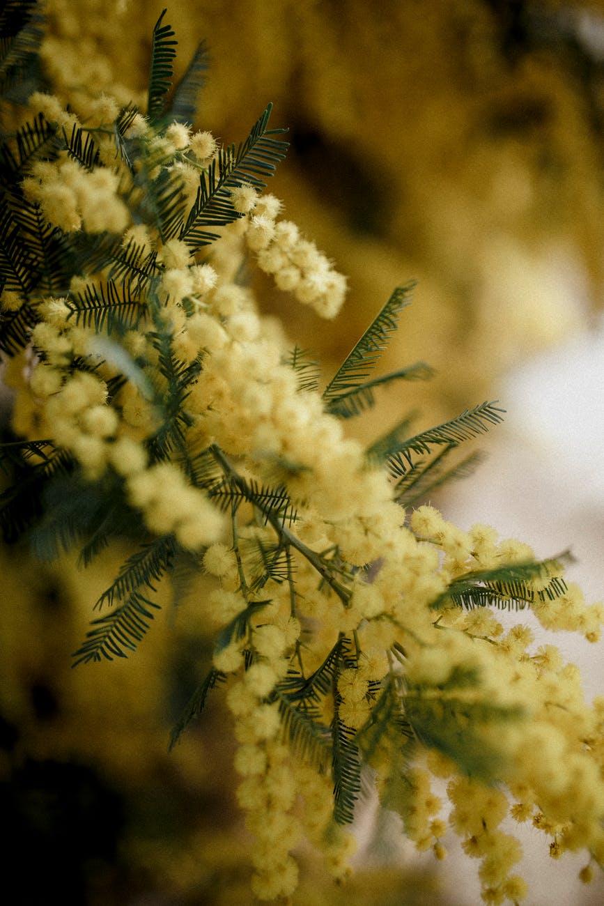 ดอกไม้มิโมซ่า